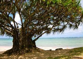 Hala Tree at Punalu'u